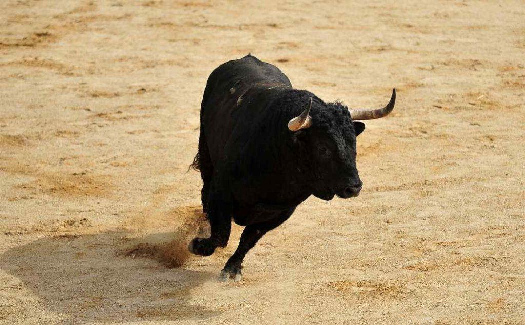 Toro: esemplare di Bos Taurus nero